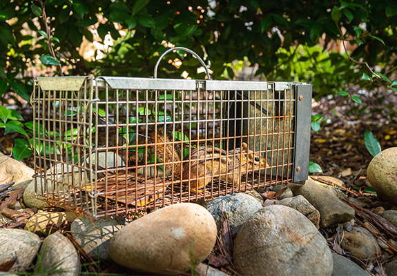 chipmunk caught in cage