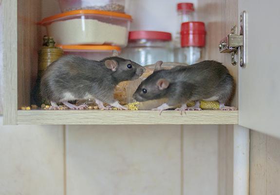mice in cubiard