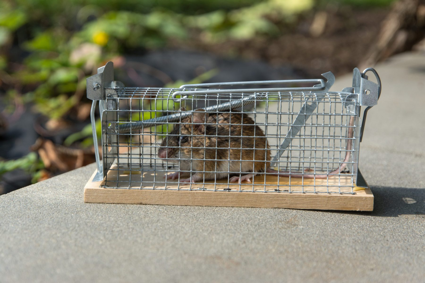 Mouse in live capture trap.
