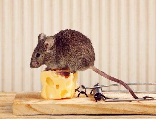 Best Ways to Get Rid of Mice