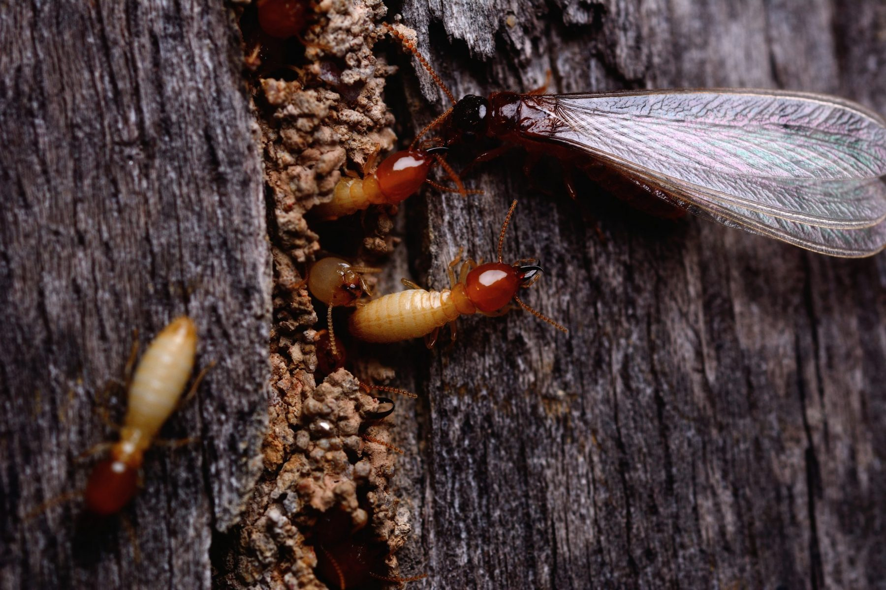 Macro shot of termite insects coming out of wood panel.