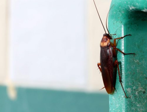 Why are Cockroaches Invading My Home?