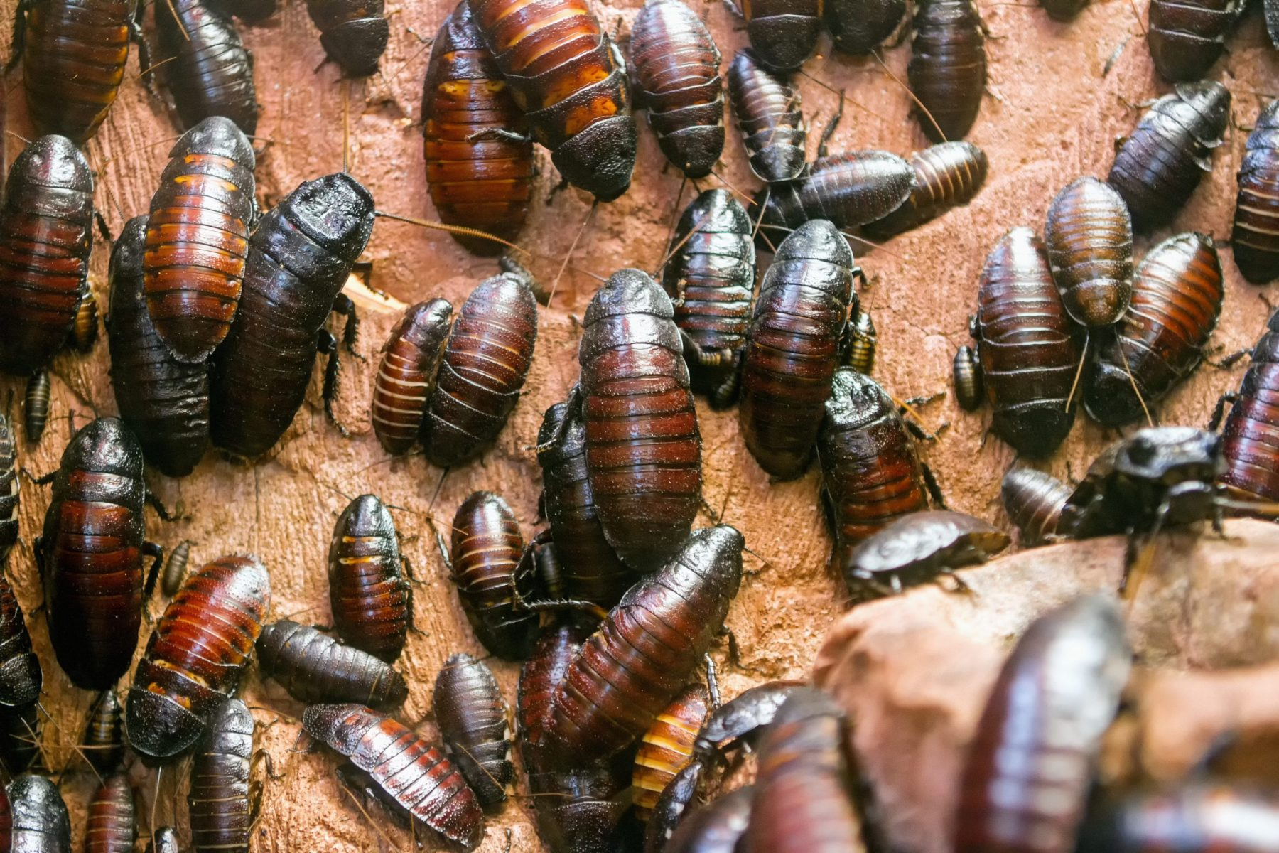 Cockroaches clustered together