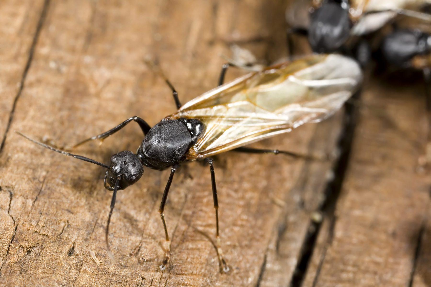 Winged carpenter ant closeup