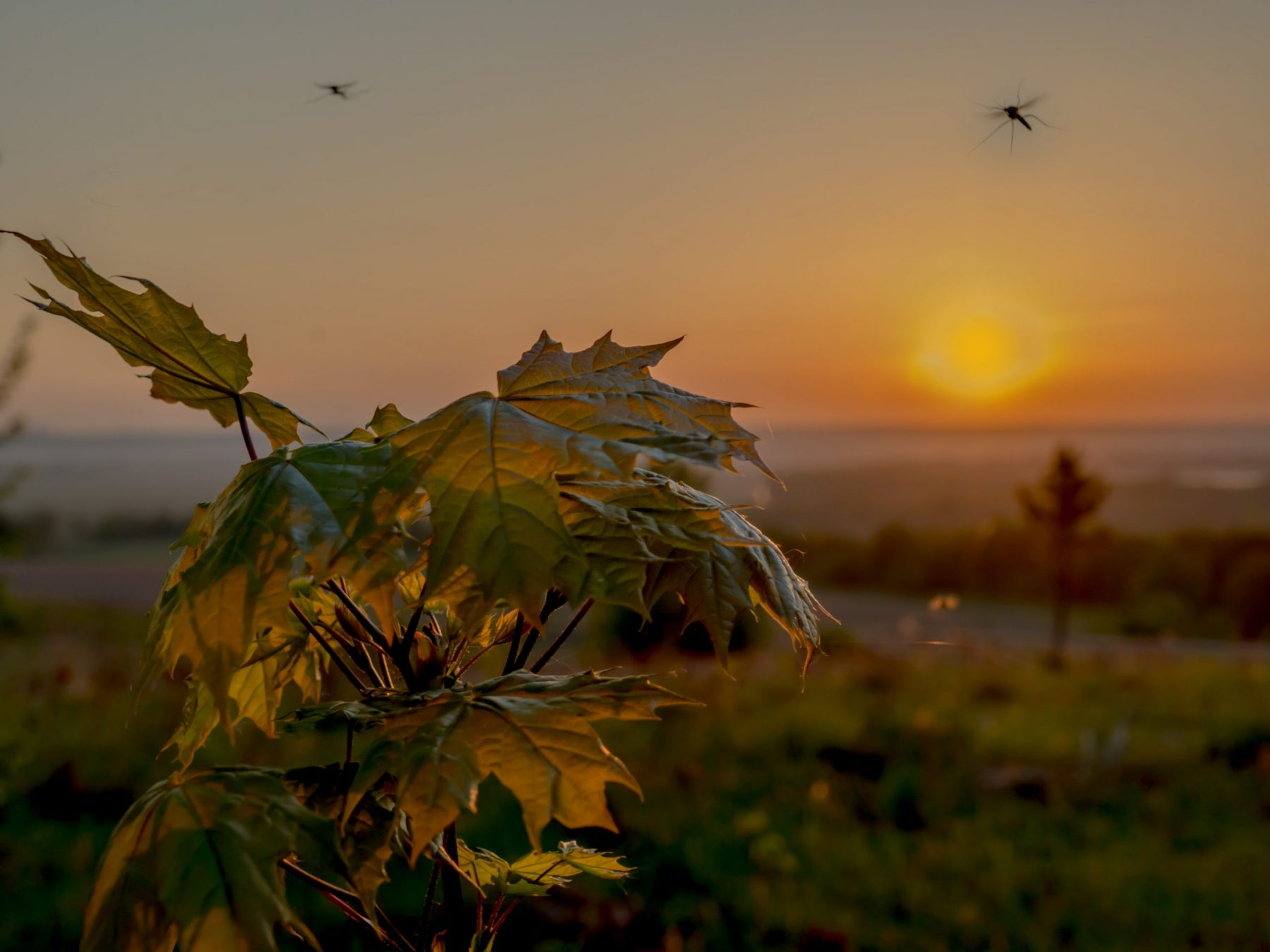 Mosquito flies over maple illuminated by the rising sun